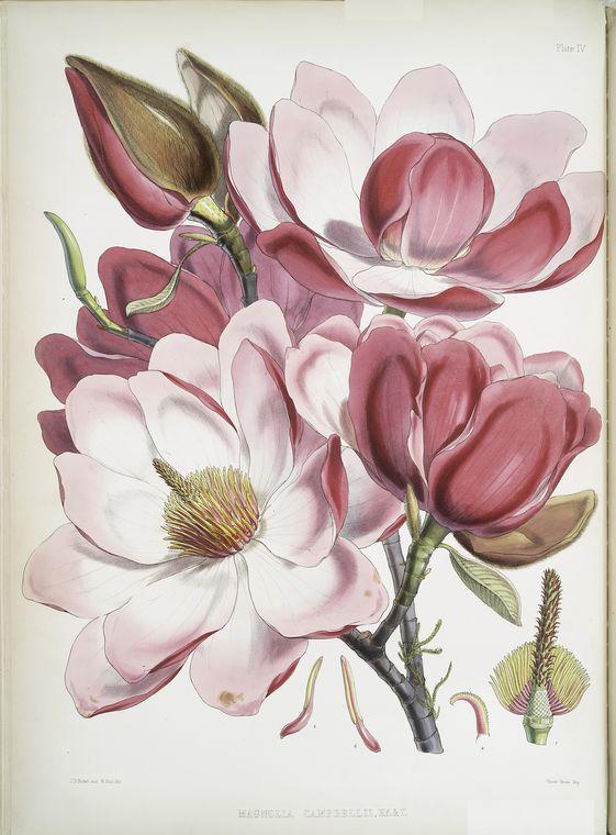 Magnolia ze zbirów Biblioteki nowojorskiej