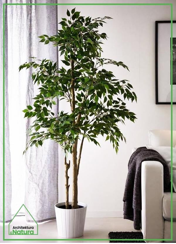 Ficus benjamina w salonie Projektowanie wnętrz: Doscha STUDIO Julia Chalimoniuk